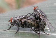 蒼蠅的繁殖