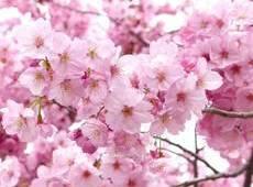 """湖北:""""相约春天赏樱花""""活动3月10日启动"""