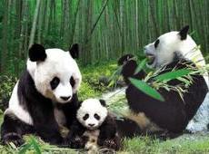 成都熊猫国际旅游度假区将亮相:打造生态景观区