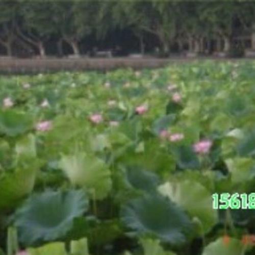 水生植物 荷花