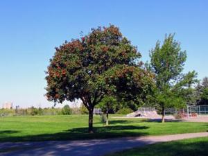 山楂樹(落葉喬木植物)