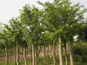 其它綠化工程喬木供應