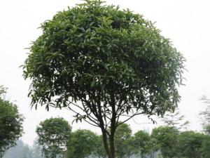 木犀科植物