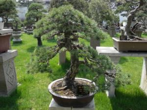 盆景 盆栽