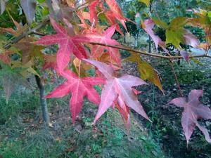彩葉景觀樹供應