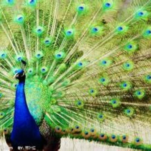 美丽的蓝孔雀展览