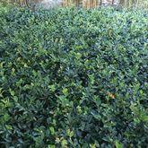 茶梅苗(盆栽)