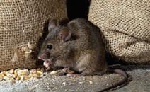 老鼠可传播鼠疫