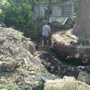 青浦區商榻鎮古樹移植-----綠化工程清包