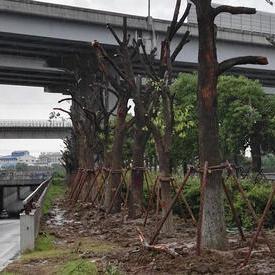 沪青平公路绿化移植、318国道绿化苗木搬迁!------绿化工程清包