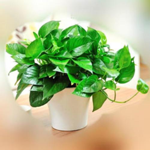 绿植租摆优惠活动---大酬宾