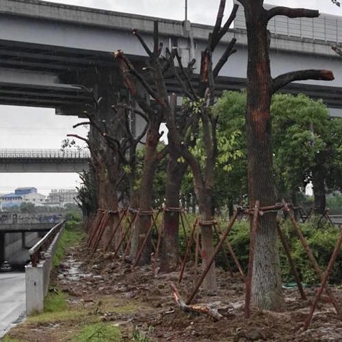 沪青平公路绿化移植、318国道绿化苗木搬迁!