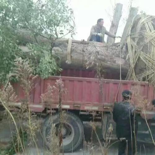 长兴岛  直径1.2米古树移植