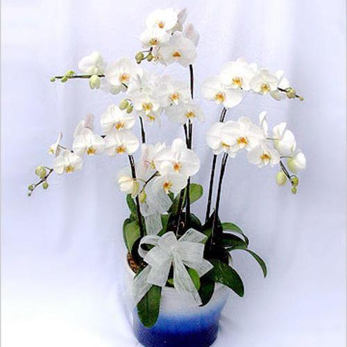 白色蝴蝶兰
