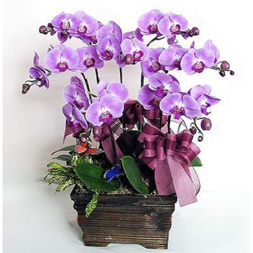 紫红色蝴蝶兰