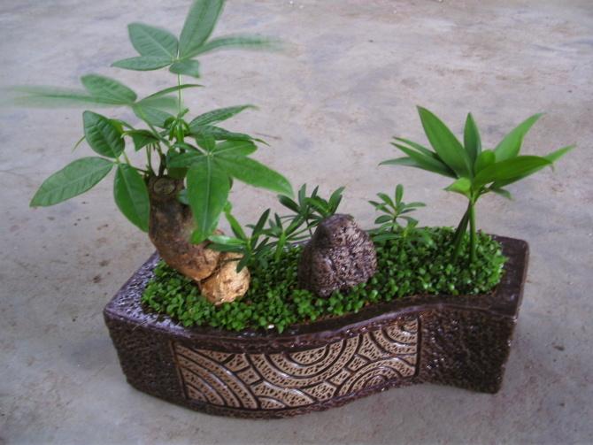 小发财树组合盆栽.jpg