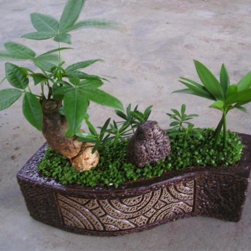 小发财树组合盆栽