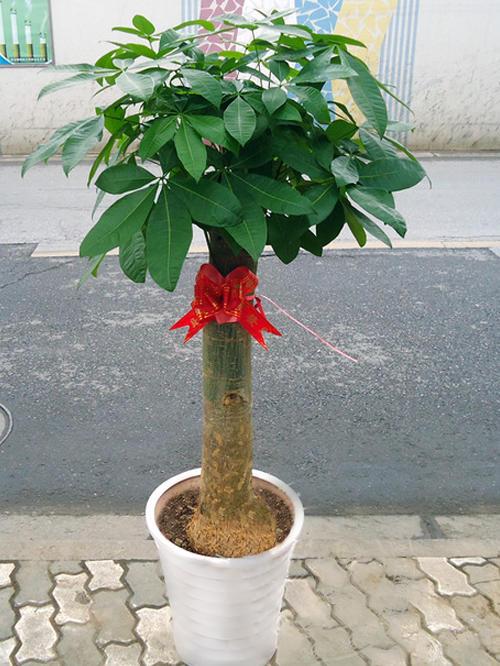 发财树.jpg