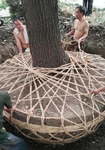 上海专业挖树、绿化移植、綠化苗木搬迁施工队