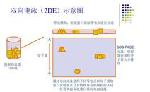 蛋白质双向电泳(2D)