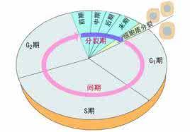 流式细胞周期.jpg