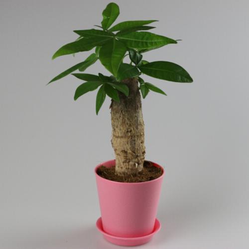 小型发财树