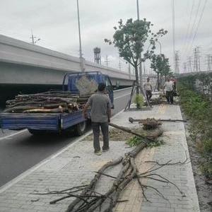 闵行區昆陽路公路綠化工程的綠化垃圾清理