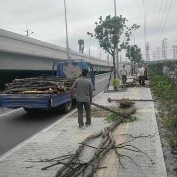 闵行区昆阳路公路绿化工程的绿化垃圾清理