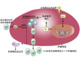 溶瘤病毒/DC-CIK技术平台