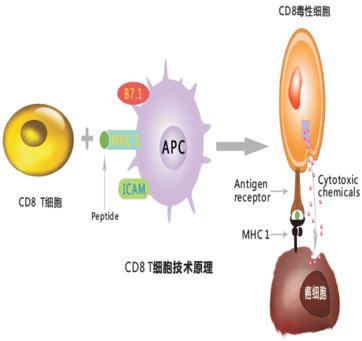 肿瘤特异性CD8 T细胞治疗技术平台