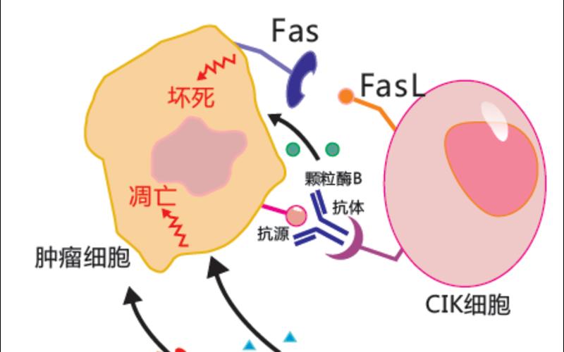 DC-CIK细胞技术平台