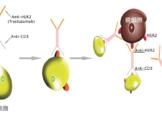 双特异性抗体/DC-CIK技术平台
