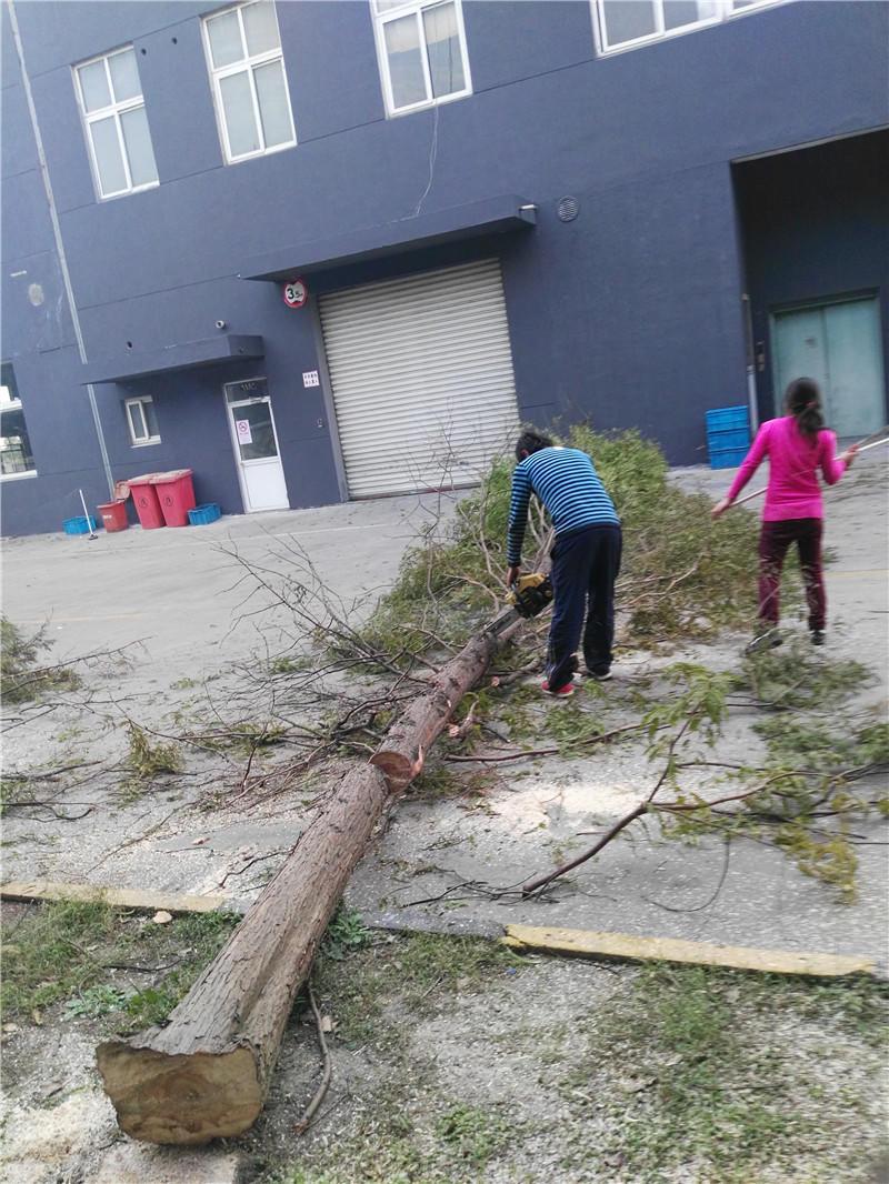 上海专业伐树队