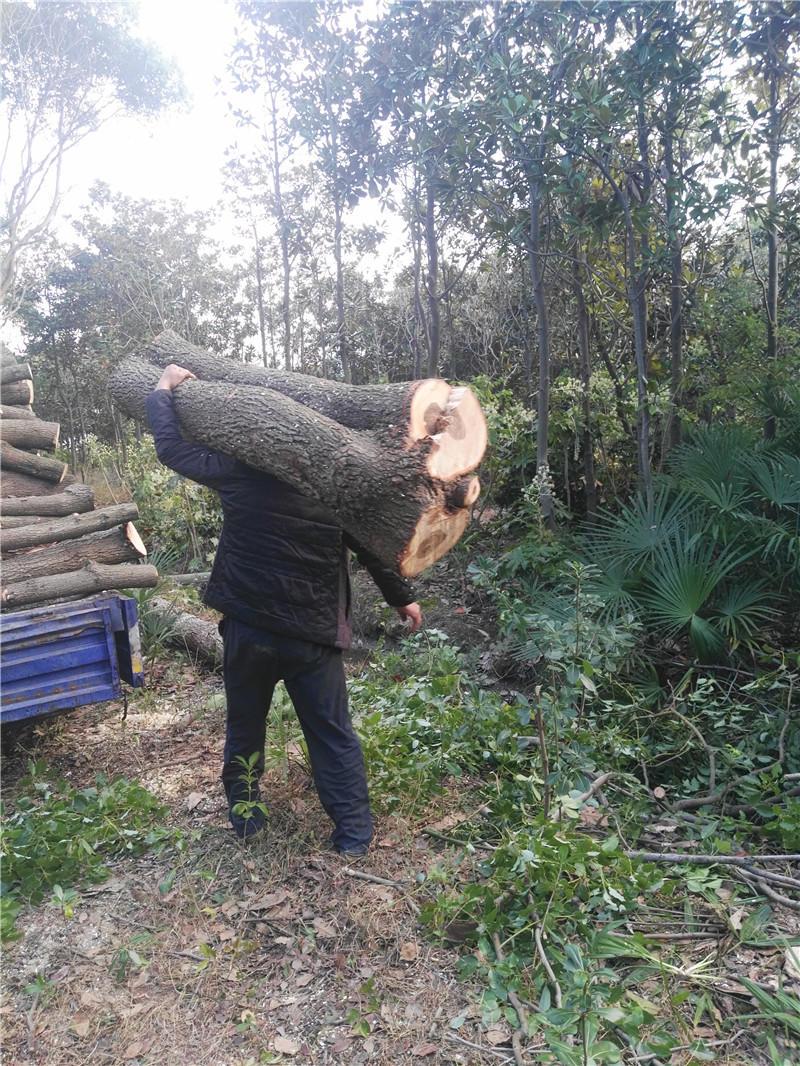 上海专业杀树、伐树18017154572