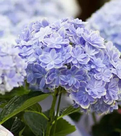 万华镜绣球大苗进口品种八仙花阳台庭院盆栽地栽绿植花卉