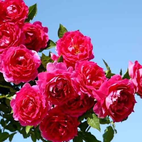 天方夜谭欧月季勤开花切花玫瑰花苗蔷薇花卉阳台庭院盆栽