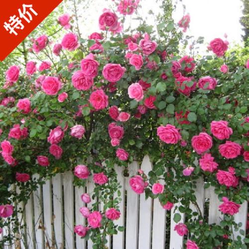 藤本月季花苗庭院花园爬藤欧月盆栽玫瑰开花植物蔷薇花卉