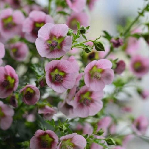小木槿盆栽阳台四季观花耐热好养植物花园庭院花卉苗园艺