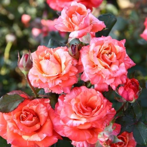 快乐橙色成品嫁接大苗月季阳台盆栽庭院四季开花植物花卉