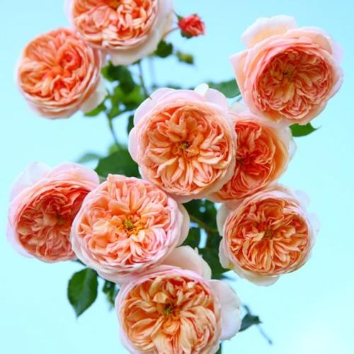 青睐自育新品粉色包子藤本月季庭院香水月季花苗盆栽花卉