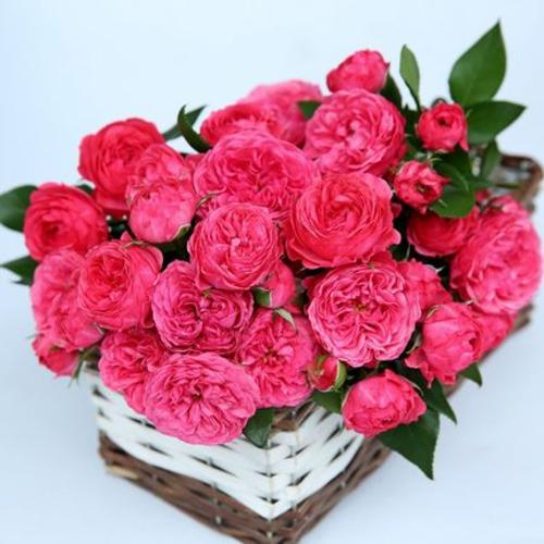 乔治一世国王月季成品嫁接休眠苗花园庭院玫瑰植物盆栽花