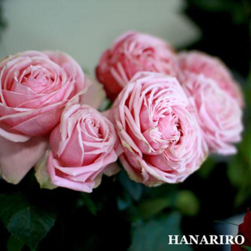 漂亮的裙子/新礼服成品嫁接大苗阳台盆栽地载植物月季花