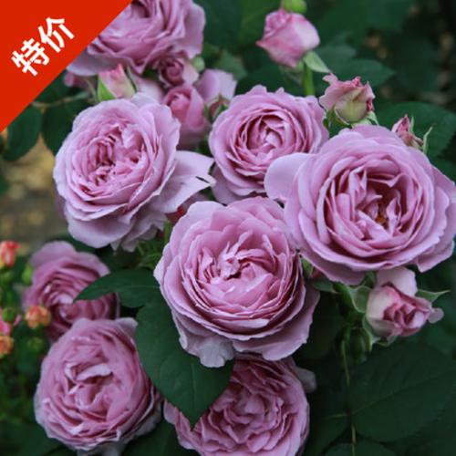 灌木月季花苗阳台盆栽花卉庭院花园欧月玫瑰四季开花植物