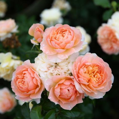 经典阳台月季花卉欧月植物微月四季开花盆栽玫瑰花苗绿植
