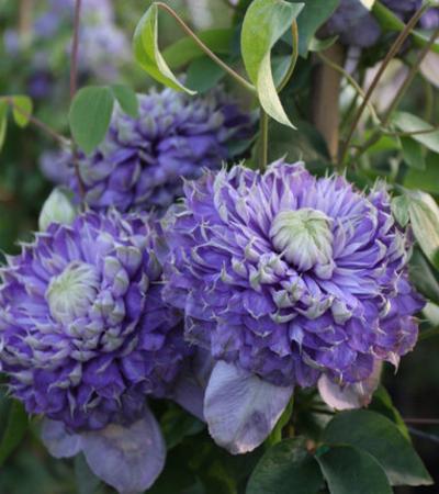 铁线莲福利混苗随机品种发货阳台盆栽爬藤攀援观花卉植物