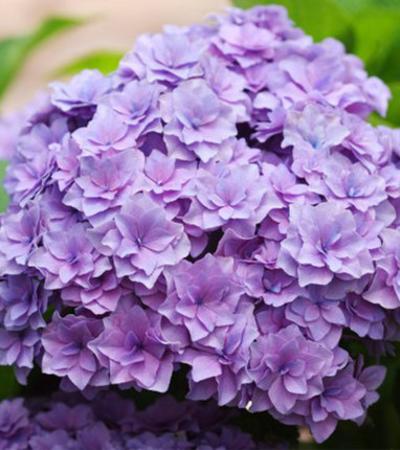 银河绣球花大花花园庭院阳台盆栽地栽八仙花观花植物花卉