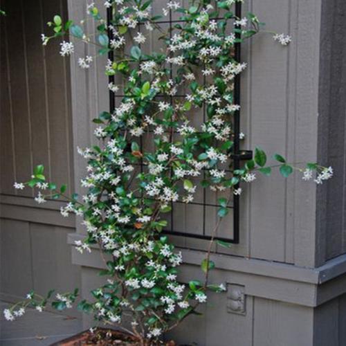风车茉莉爬藤植物花卉阳台盆栽藤本庭院花园耐寒耐热绿植