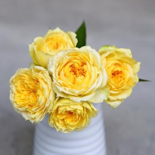 阳光古董成品嫁接大苗切花浓香大花月季阳台庭院植物花卉