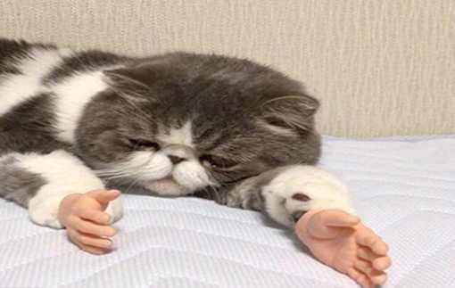 这只猫火了!假如猫咪长出人手会怎么样?