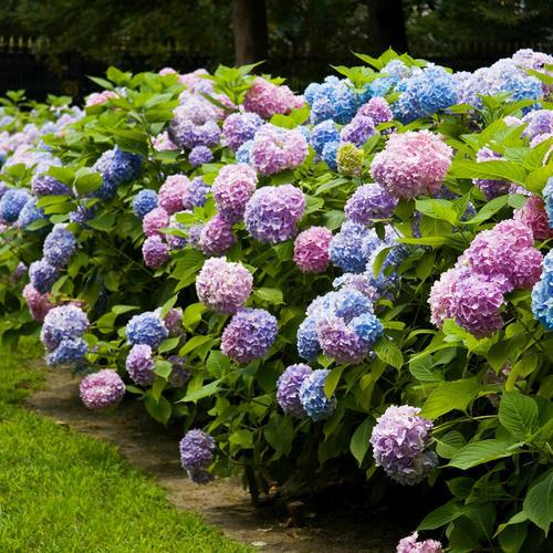 绣球无尽夏 精品黑方盆栽阳台露台新手好养花园庭院植物